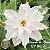 Muda Rosa do Deserto de enxerto com flor dobrada na cor Branca Matizada - EV80/21Branca de neve - Imagem 1
