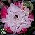 Muda Rosa do Deserto de enxerto com flor tripla na cor Rosa Matizada - EV55/21 CETIM - Imagem 2