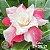 Muda Rosa do Deserto de enxerto com flor tripla na cor Rosa Matizada - EV55/21 CETIM - Imagem 1