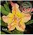 Muda Rosa do Deserto de enxerto com flor Dobrada na cor Amarela Matizada - EV66 - Imagem 1