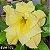 Muda Rosa do Deserto de enxerto com flor dobrada na cor amarela - EVM173 - Imagem 1