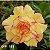 Muda Rosa do Deserto de enxerto com flor dobrada na cor amarela Matizada - EVM188 - Imagem 1