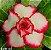 Muda Rosa do Deserto de enxerto com flor dobrada na cor Branca com Borda Rosa - EVM66 - Imagem 1