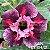 Muda Rosa do Deserto de enxerto com flor dobrada na cor Matizada - EV104/21 Colibri - Imagem 1