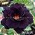 Muda Rosa do Deserto de enxerto com flor tripla na cor Negra - EV133/21 Blade - Imagem 1