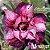 Muda Rosa do Deserto de enxerto com flor dobrada na cor matizada - EV138/21  - Imagem 1