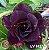 Muda Rosa do Deserto de enxerto com flor tripla na cor roxa - EV142/21  - Imagem 1