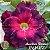 Muda Rosa do Deserto de enxerto com flor dobrada na cor matizada - EV143/21 Ametista Bicolor - Imagem 1