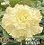 Muda Rosa do Deserto de enxerto com flor tripla na cor amarelo creme - EV151/21 Lady Nora - Imagem 1