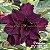 Muda Rosa do Deserto de enxerto com flor tripla na cor roxa - EV155/21 Púrpura - Imagem 1