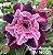 Muda Rosa do Deserto de enxerto com flor tripla na cor Roxa matizada - EV160/21 Grape Amaryllis - Imagem 1
