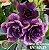 Muda Rosa do Deserto de enxerto com flor tripla na cor roxa - EV163/21 Prima de Sansão - Imagem 1