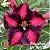 Muda Rosa do Deserto de enxerto com flor simples na cor matizada - EV164/21 Bela Dona - Imagem 1