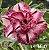 Muda Rosa do Deserto de enxerto com flor dobrada na cor matizada - EV166/21 - Imagem 1