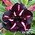 Muda Rosa do Deserto de enxerto com flor dobrada na cor matizada - EV167/21 Black - Imagem 1