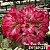 Muda Rosa do Deserto de enxerto com flor simples na cor rosa - EV169/21 Pom Pom Bouquet - Imagem 1