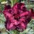 Muda Rosa do Deserto de enxerto com flor tripla na cor matizada - EV171/21 Violet Perfumada - Imagem 1