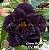 Muda Rosa do Deserto de enxerto com flor tripla na cor roxa - EV180/21 Dama da Noite - Imagem 1