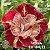 Muda Rosa do Deserto de enxerto com flor dobrada na cor matizada - EV184/21 Mileide - Imagem 1