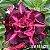 Muda Rosa do Deserto de enxerto com flor tripla na cor matizada - EV185/21 - Imagem 1