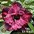 Muda Rosa do Deserto de enxerto com flor dobrada na cor matizada - EV193/21 Tetéia - Imagem 1