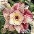 Muda Rosa do Deserto de enxerto com flor dobrada na cor Matizada - EV01/21 Safira Rosa - Imagem 1