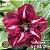 Muda Rosa do Deserto de enxerto com flor dobrada na cor Vermelha Matizada - EV02/21 Tutti Frutti - Imagem 1