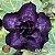 Muda Rosa do Deserto de enxerto com flor dobrada na cor Roxa - EV06/21  - Imagem 1