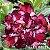 Muda Rosa do Deserto de enxerto com flor tripla na cor Vermelha Matizada - EV08/21 RADIANCE - Imagem 1