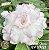 Muda Rosa do Deserto de enxerto com flor tripla na cor Branca Matizada - EV09/21 Anna Clara - Imagem 1