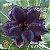Muda Rosa do Deserto de enxerto com flor dobrada na cor Negra - EV10/21 BLACK COFFEE - Imagem 1