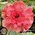 Muda Rosa do Deserto de enxerto com flor tripla na cor Rosa - EV12/21 HOT FIRE - Imagem 1