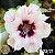 Muda Rosa do Deserto de enxerto com flor dobrada na cor Branca Matizada - EV23/21 - Imagem 1
