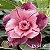 Muda Rosa do Deserto de enxerto com flor tripla na cor matizada - EV53/21  - Imagem 1