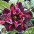 Muda Rosa do Deserto de enxerto com flor dobrada na cor matizada - EV56/21  - Imagem 1