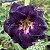 Muda Rosa do Deserto de enxerto com flor dobrada na cor Roxa - EV54/21  - Imagem 1