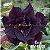 Muda Rosa do Deserto de enxerto com flor tripla na cor negra - EV47/21Ônix - Imagem 1