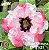 Muda Rosa do Deserto de enxerto com flor dobrada na cor Branca Matizada- EV51/21Mister Okumura - Imagem 1