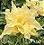 Muda Rosa do Deserto de enxerto com flor dobrada na cor Amarela - EV42/21 - Imagem 1