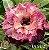 Muda Rosa do Deserto de enxerto com flor tripla na cor matizada - EV58/21 - Imagem 1