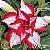 Muda Rosa do Deserto de enxerto com flor tripla estrela na cor Matizada - EV41/21 - Imagem 1