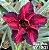 Muda Rosa do Deserto de enxerto com flor dobrada estrela na cor vermelha Matizada - EV40/21Bico Preto - Imagem 1