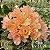 Muda Rosa do Deserto de enxerto com flor dobrada na cor Coral - EV57/21 Coral - Imagem 1
