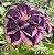 Muda Rosa do Deserto de enxerto com flor tripla na cor Roxa Matizada - EV97/21 Sansão - Imagem 1