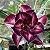 Muda Rosa do Deserto de enxerto com flor dobrada na cor Matizada - EV95/21  - Imagem 1