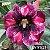 Muda Rosa do Deserto de enxerto com flor simples na cor Roxa Matizada - EV91/21 Heidi - Imagem 1