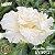 Muda Rosa do Deserto de enxerto com flor tripla na cor Branca - EV90/21 Algodão Doce - Imagem 1
