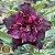 Muda Rosa do Deserto de enxerto com flor dobrada na cor Roxa - EV88/21  - Imagem 1