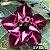 Muda Rosa do Deserto de enxerto com flor dobrada na cor Roxa  Matizada- EV85/21 Viuvinha - Imagem 1