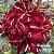 Muda Rosa do Deserto de enxerto com flor dobrada na cor Vermelha matizada- EV79/21 Pessanha - Imagem 1